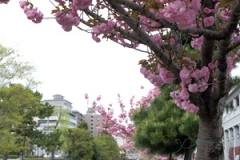 堀川沿いに咲いた八重桜