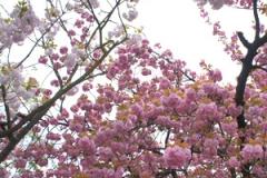 近所の公園に咲いた御室桜
