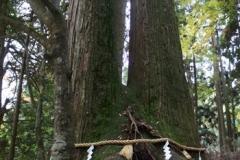 「相生の杉」同じ根から生えた二本の杉