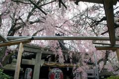 鳥居にかかるしだれ桜