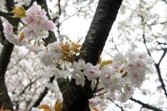 こんなかわいい桜もあります