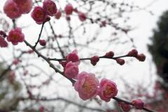 梅園の中の梅