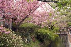 哲学の道にて。遅咲きの桜がきれいでした。