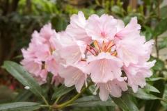 シャクナゲ(Rhododendron)