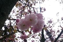 すっごいかわいい八重桜