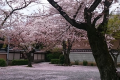 桜カーペット