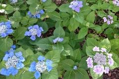 額紫陽花の群集を発見