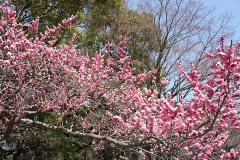 かわいいサーモンピンクの桜