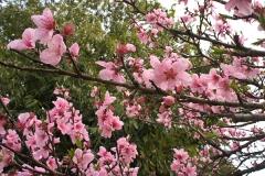素敵な濃いピンクの桜