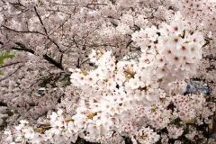 桜の花の生命力を感じる
