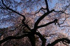 桜の笠の下