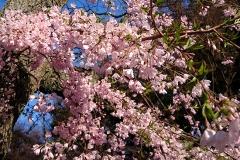 ピンク色のかわいい桜