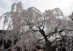 一番人気の枝垂桜