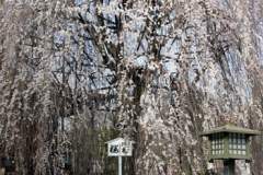 千本釈迦堂のしだれ桜