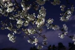 夜風にそよぐ桜