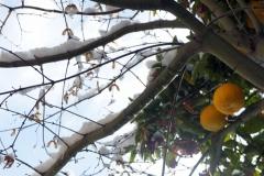 もみじの枝に積もった雪