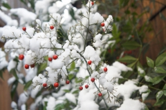 南天の実と雪