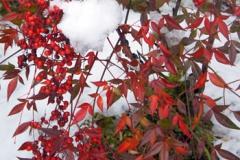 ナンテン(?)の赤と雪の白