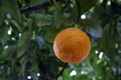 「三宝柑」皮が分厚く種が多い