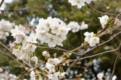 こちらの桜もよかったです