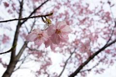 東の鳥居より右手のピンクの桜