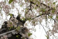 なんとか残っていた桜