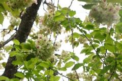 緑の桜として湯名な御衣黄