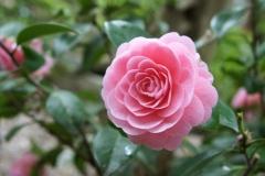 ツバキ(Camellia)