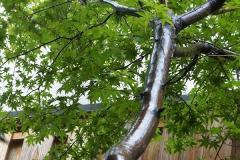 雨に濡れた楓の木
