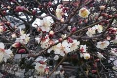 きれいな梅もすでに開花です
