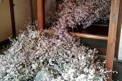 部屋の奥から流れ出る桜