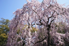 一番人気の垂れ桜