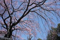 平安女子大の桜