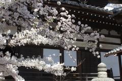 本堂と桜のコントラストがきれい