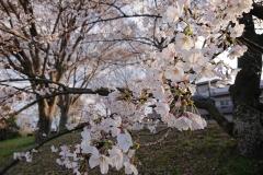 190401_kamo_sakura_1
