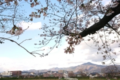 190401_kamo_sakura_2