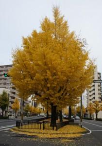 きれいな黄色の銀杏絨毯