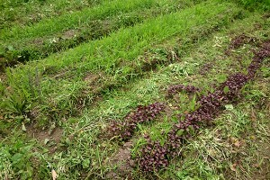 前回植えられた紫蘇が育っています